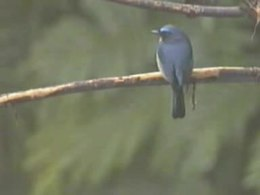 Bestand:Hill Blue-flycatcher.ogv