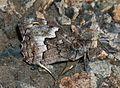 Hipparchia cypriensis (Cyprus Grayling) - Flickr - S. Rae (1).jpg