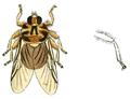 Hippobosca equina Linnaeus, 1758 labelled as Hippobosca equina Fabr. (Panzer & Sturm 1793), whitened, clean, no labels.png