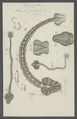 Hirudo geometra - - Print - Iconographia Zoologica - Special Collections University of Amsterdam - UBAINV0274 103 08 0003.tif