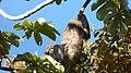 Hoffman's Two-toed Sloth. Choloepus hoffmanni (39263855540).jpg