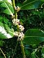 Holly Flower.JPG