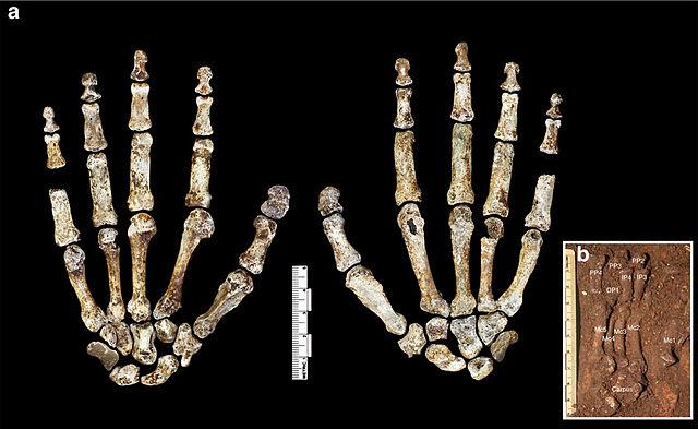 Huesos de la mano derecha de un ejemplar de Homo naledi