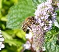 Honey Bee. Apis melliflora - Flickr - gailhampshire.jpg