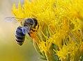 Honey Bee and Rabbitbrush (6198493225).jpg