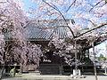 Honzenji (Iigai) sakura 1.JPG