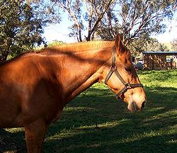 סוס עם ראשיה בחווה.