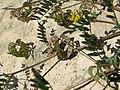 Horseshoe plant on Malta.jpg