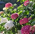 Hortensia rouge.jpg