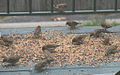 House Sparrow flock feeding on seeds.jpg