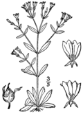 Houstonia canadensis as Houstonia ciliolata BB-1913.png