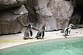 Humboldt penguins (Spheniscus humboldti) at the Niigata City Aquarium.jpg