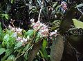 Humboldtia brunonis Wall. 04.JPG