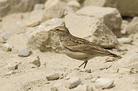 Hume's short-toed Lark, near Dras, Jammu and Kashmir, India.jpg
