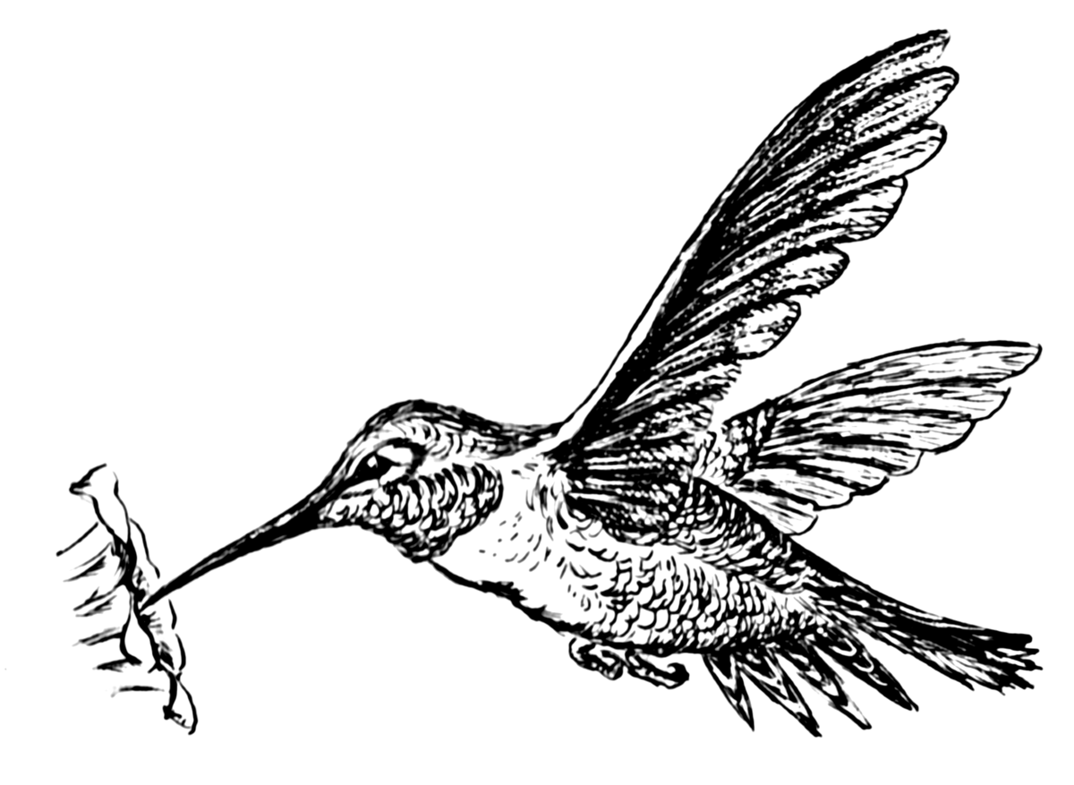Kleurplaat Owl Colibri Wikip 233 Dia