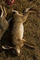 Hunting hare Lepus nigricollis MG 5312 12.jpg