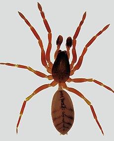 Huttonia sp. male.jpg