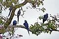 Hyacinth Macaws (Anodorhynchus hyacinthinus) (28668186984).jpg