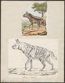 Hyaena striata - 1700-1880 - Print - Iconographia Zoologica - Special Collections University of Amsterdam - UBA01 IZ22200065.tif