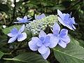 Hydrangea macrophylla 'Jyogasaki'.jpg