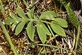 Hydrophyllum capitatum 3222.JPG