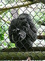 Hylobates moloch on mesh in Howletts Wild Animal Park 2.jpg