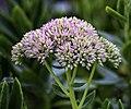 Hylotelephium spectabile FS LR.jpg