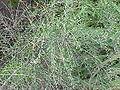 Hymenanthera crassifolia6.jpg