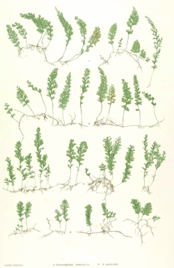Hymenophyllum spp Moore49.png
