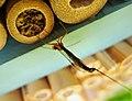 Ichneumon Wasp Ephialtes manifestator female parasitising solitary bee pupae (24079019768).jpg