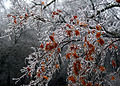 Icy Japanese Maple, Boxborough, Massachusetts, 2008.jpg