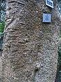 Ilex mitis bark - Kirstenbosch botanical garden - 3.jpg