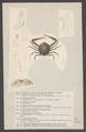 Ilia nucleus - - Print - Iconographia Zoologica - Special Collections University of Amsterdam - UBAINV0274 006 01 0088.tif