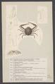 Ilia nucleus - - Print - Iconographia Zoologica - Special Collections University of Amsterdam - UBAINV0274 006 01 0088.tif