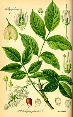 Gemeine Pimpernuss (Staphylea pinnata), Illustration.