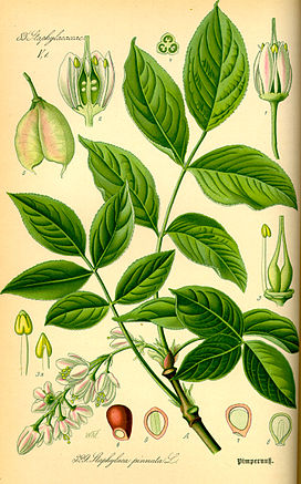 Illustration Staphylea pinnata0.jpg