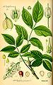 Illustration Staphylea pinnata0.jpg
