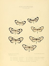 Illustrations of new species of exotic butterflies Ithomia VIII.jpg