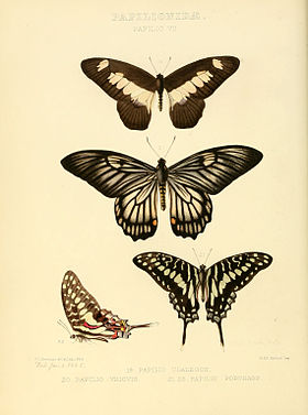 Illustrations of new species of exotic butterflies Papilio VII.jpg