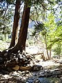 Incense-cedars near Big Falls, San Bernardino NF (3720846993).jpg