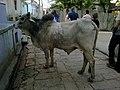 Inde Rajasthan Nimaaj Vache Sacree - panoramio.jpg