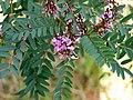 Indigofera australis-young-flowers.jpg