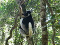 Indri indri 003.jpg