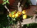 Injerto de naranjo en limonero, Sevilla, España, noviembre de 2011.JPG