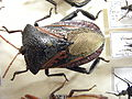 Insect Safari - beetle 02.jpg