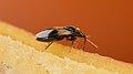 Insidious Flower Bug (Orius insidiosus) - Guelph, Ontario 2017-06-17 (02).jpg