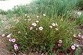 Ipomoea leptophylla 1209057 3x2.jpg