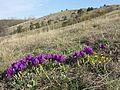 Iris pumila sl27.jpg