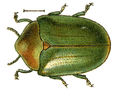Ischyronota elevata.png