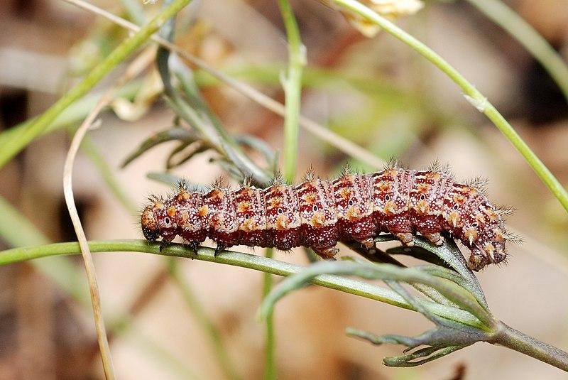 File:Issoria lathonia caterpillar.jpg